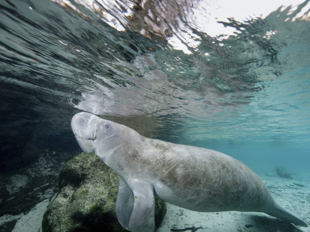 Florida manatee (Trichechus manatus latirostris) in the Crystal River, central Florida,Three Sisters